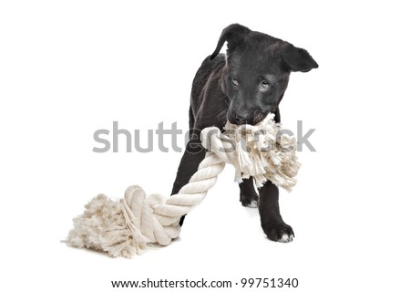 Mixed breed puppy. Great Dane, Rottweiler, in front of a white background.