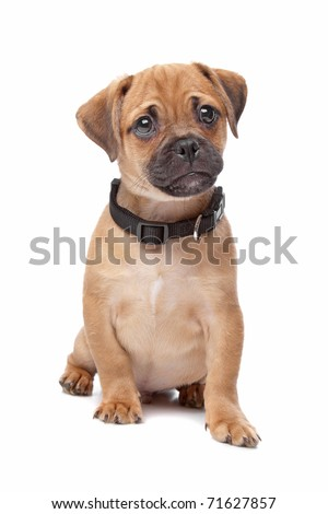 mixed breed puppy, half pug, half cavalier king charles spaniel