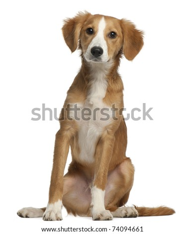 Mixed-breed puppy, 4 months old, sitting in front of white background
