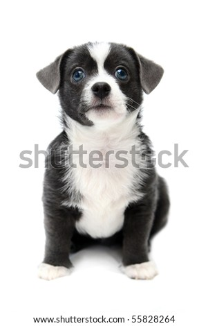 Mixed breed puppy (2 months) on a white background