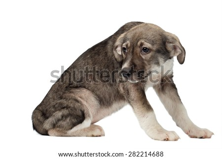 Mixed Breed Puppy Pitifully Looks Isolated on White background #282214688