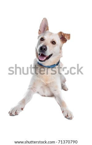 golden retriever mixed breeds. stock photo : mixed breed, shepherd,golden retriever