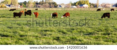 Mixed breeds of cattle grazing in a privately owned pasture.