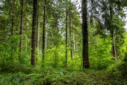 Mixed forest with Norway spruces (Picea abies) and European beech trees (Fagus sylvatica), backlit, Upper Bavaria, Germany, Europe