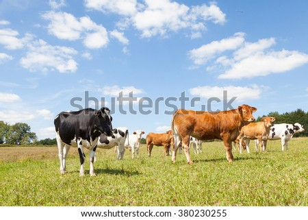 Mixed herd of  brown Limousin beef cows and black and white Holstein  dairy cattle in  a sunny pasture with white clouds in a blue sky above