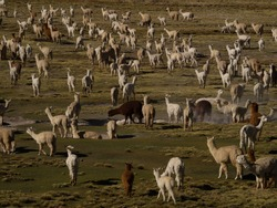 Mixed herd of farm animals llamas alpacas in andes mountains plateau nature landscape near Colca Canyon Arequipa Peru