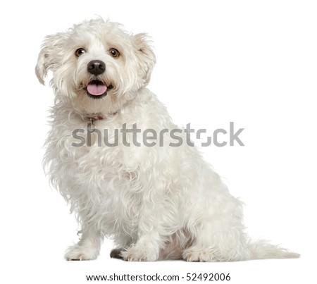 Mixed Maltese dog, 4 years old, sitting in front of white background