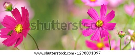 Mixed pics beautiful pink cosmos in natural backdrop blooming close up petals. Close up bright floral of summer in field. Center of growing flower, free space for add texts, wallpaper, banner, desktop