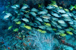 Mixed School of grunts hovering under a reef ledge.
