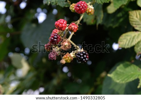 Mixed wild green, red and black blackberries on a bush, some ripe, some unripe, some rotten and some already picked