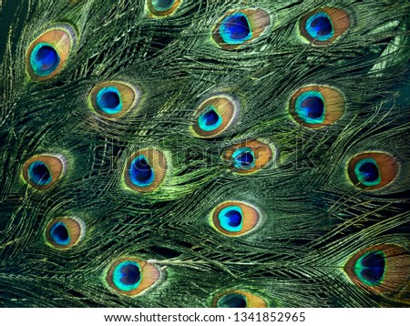 Mobile photo of beautiful peacock tail. Green shimmer feathers of male indian bird. Eye ornament detail. Exotic paradise plumage. Close up background. Foto stock ©