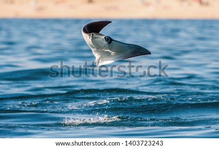 Mobula ray jumping out of the water. Front view. Mobula munkiana, known as the manta de monk, Munk's devil ray, pygmy devil ray, smoothtail mobula, is a species of ray in the family Myliobatida.  Stock fotó ©