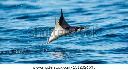 Mobula ray jumping out of the water. Mobula munkiana, known as the manta de monk, Munk's devil ray, pygmy devil ray, smoothtail mobula.  Blue ocean background. Stock fotó ©