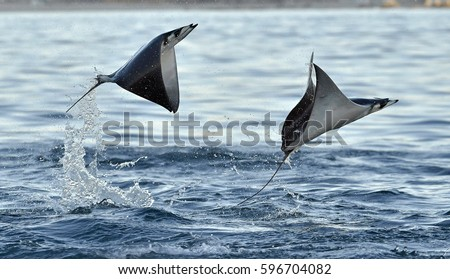 Mobula ray jumping out of the water. Mobula munkiana, known as the manta de monk, Munk's devil ray, pygmy devil ray, smoothtail mobula, is a species of ray in the family Myliobatida. Pacific ocean   Stock fotó ©