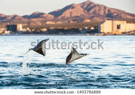 Mobula rays jumping out of the water. Mobula munkiana, known as the manta de monk, Munk's devil ray, pygmy devil ray, smoothtail mobula, is a species of ray in the family Myliobatida. Pacific ocean Stock fotó ©