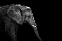 Mochrome portrait elephant. Face elephant. Animal on black. Black and white poster. African elephant.
