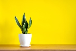 Mock up banner with copy space trending flower snake plant Sansevieria trifasciata on bright yellow background. Summer indoor plants and urban jungle concept