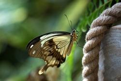 Mocker Swallowtail (Papilio dardanus ) butterfly