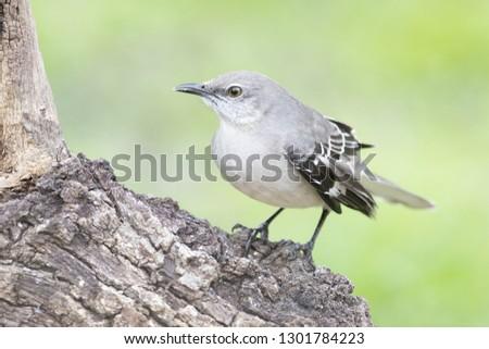 Mockinbird perched on a branch backyard home feeder