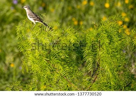 mockingbird in a mesquite tree