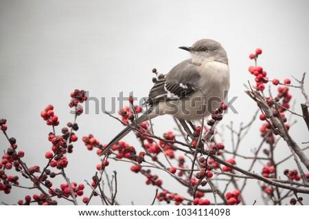 Mockingbird on red Winter berry bush