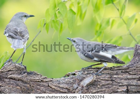 Mockingbird perched and fighting on a trunk