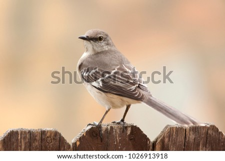 Mockingbird perched on a trunk outdoor yard home