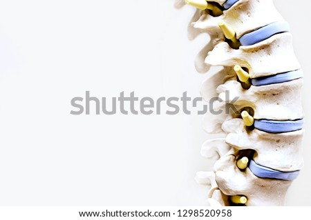 Model of a spine in medical field with white background.