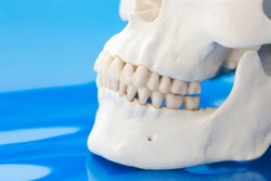 Model of normal positioning of jaw and teeth. Jawbones with maxillary and mandibular dentition on blue background