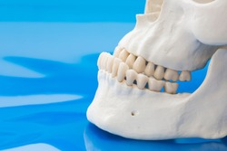 Model of prognathism. Jawbones with maxillary and mandibular dentition and protrusion of lower jaw on blue background