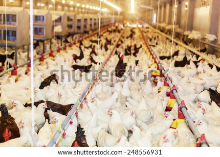 Modern chicken farm, production of white meat.Shallow doff