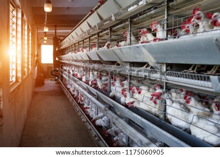 Modern Farm for growing hens for hens, sun, poultry farm, factory