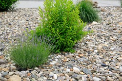 Modern garden design and landscaping: easy care front yard with blooming violet lavender and foliage plants surrounded by varicolored pebbles