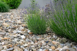 Modern garden design and landscaping: easy care front yard with blooming violet lavender surrounded by varicolored pebbles