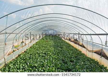 Modern glass greenhouse planting vegetable greenhouses of fresh green spring salad seedlings being cultivated on a summers day. Greenery, industrial.