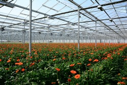 Modern greenhouse with flowers of hydrangea and gerbera