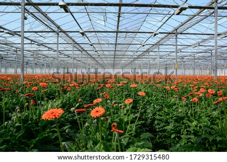 Modern greenhouse with flowers of hydrangea and gerbera ストックフォト ©