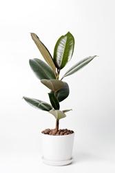 Modern houseplants Ficus Elastica Burgundy or Rubber Plant in white pot. Minimal creative home decor concept