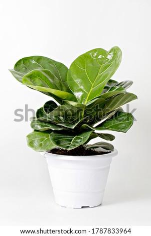 Modern houseplants fiddle leaf fig tree or Ficus Lyrata in white pot. Minimal creative home decor concept. Сток-фото ©