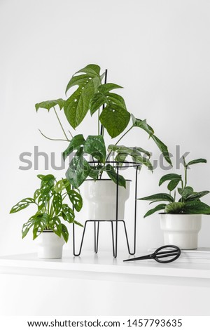 Modern houseplants on a white drawer in the white living room, minimal creative home decor concept, Amydrium Medium, Monstera Adansonii and Monstera Karstenianum or sp. Peru