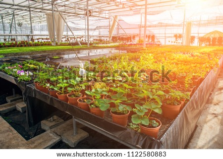 Modern hydroponic greenhouse in sunlight with climate control, cultivation of seedings, flowers. Industrial horticulture, toned #1122580883