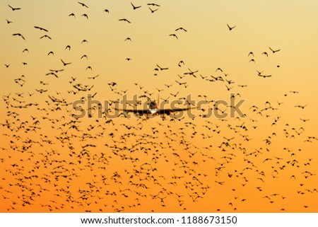 modern passenger jet engine aircraft landing to airport runway at dusk on background with huge bunch of birds dangerously crossing glideslope on foreground nature transportation birds strike theme