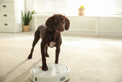 Modern robotic vacuum cleaner and German Shorthaired Pointer dog on floor indoors