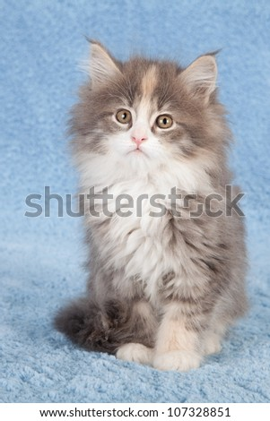 Moggie kitten sitting on blue faux fur background