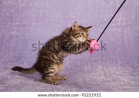 Moggy kitten playing with toy on lilac background