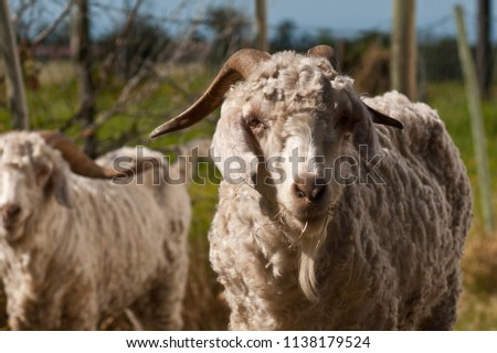 Mohair goats in pasture after shearing