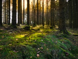 Moist forest floor with moss. The tree trunks cast shadows in the sunlight. A good place for forest bathing. Brilon, Sauerland.