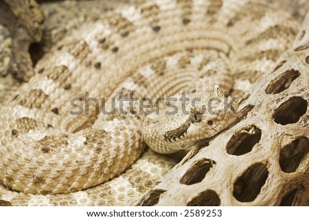 Mojave Desert Sidewinder  Crotalus cerastes cerastes  Native to south-central California south and east of the Sierras south to roughly the San Bernardino county line. Ranges east through Nevada