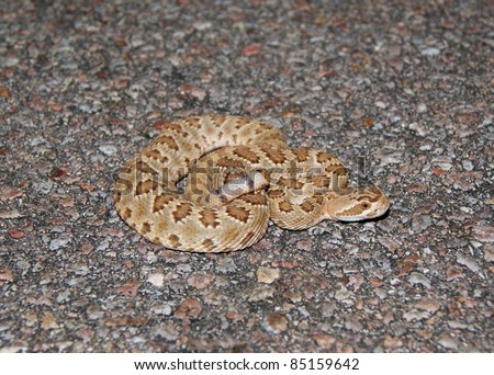Mojave (or Mohave) Rattlesnake, Crotalus scutulatus, one of the most dangerously venomous species of rattlesnake