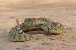Mojave Rattlesnake in Arizona (Crotalus scutulatus)